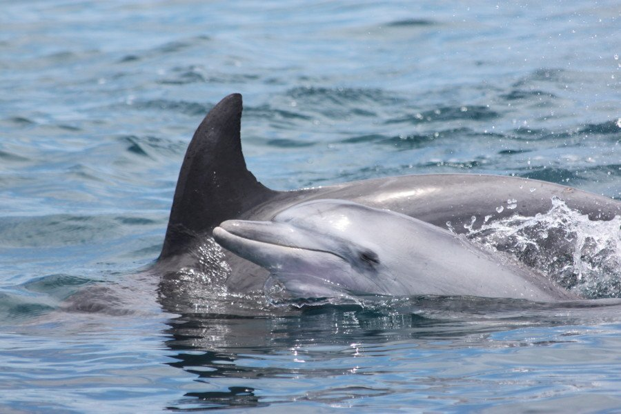 A bottlenose dolphin with calf encountered during a GVI-KWS dolphin survey