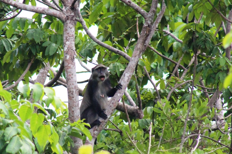 A Sykes monkey vocalising out in the field