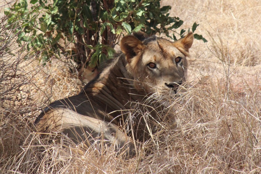 A male lion reclining in the shade