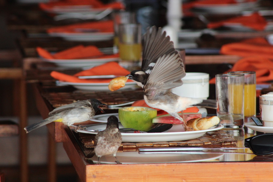 Cheeky little birds helping themselves to the remains of breakfast at the Lodge...