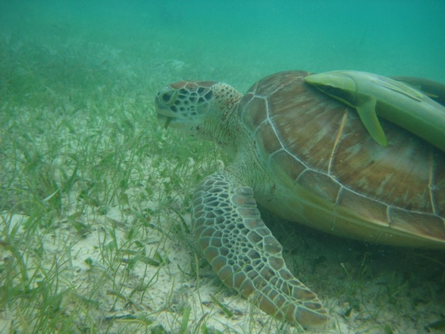 Green turtle with a shark sucker