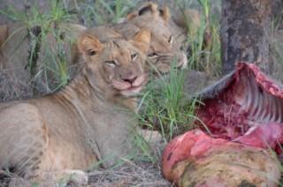 Lions on kill