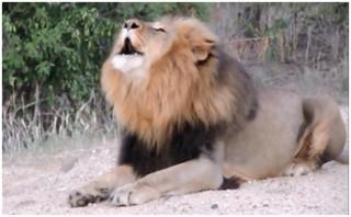 subby roaring