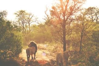 lions_gauzylight