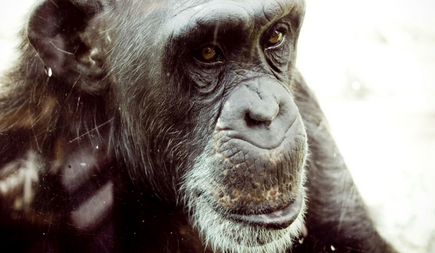 Endangered Animals Chimpanzee