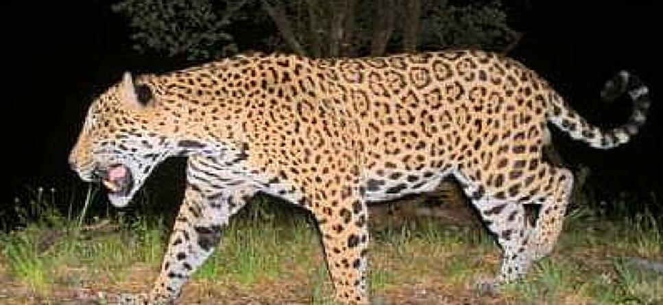 jaguar conservation in costa rica gvi uk
