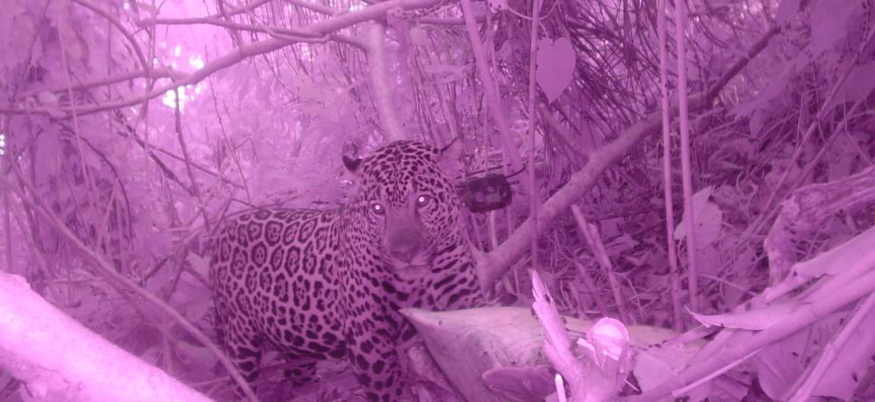 Tiger spotted through night vision camera