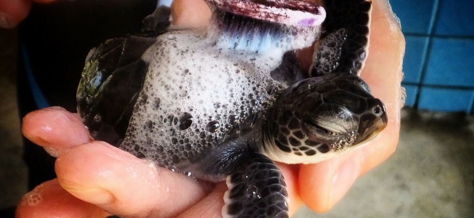 Baby turtle washing