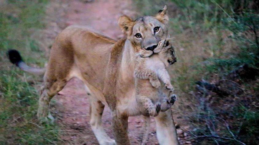 Lion carrying lion cub