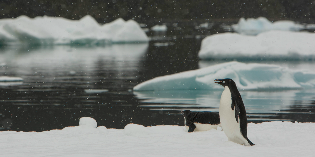 Adélie penguins are affected by climate change