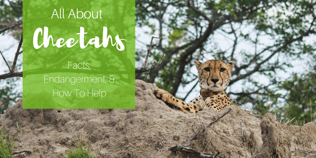 All About Cheetahs: Fun Facts, Why Cheetahs Are Facing Extinction And How You Can Help
