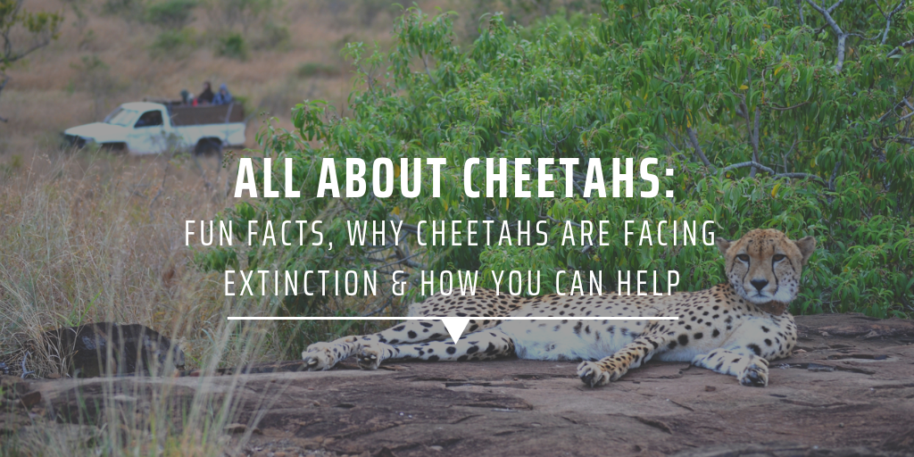 All about cheetahs: Fun facts, why cheetahs are facing extinction & how you can help