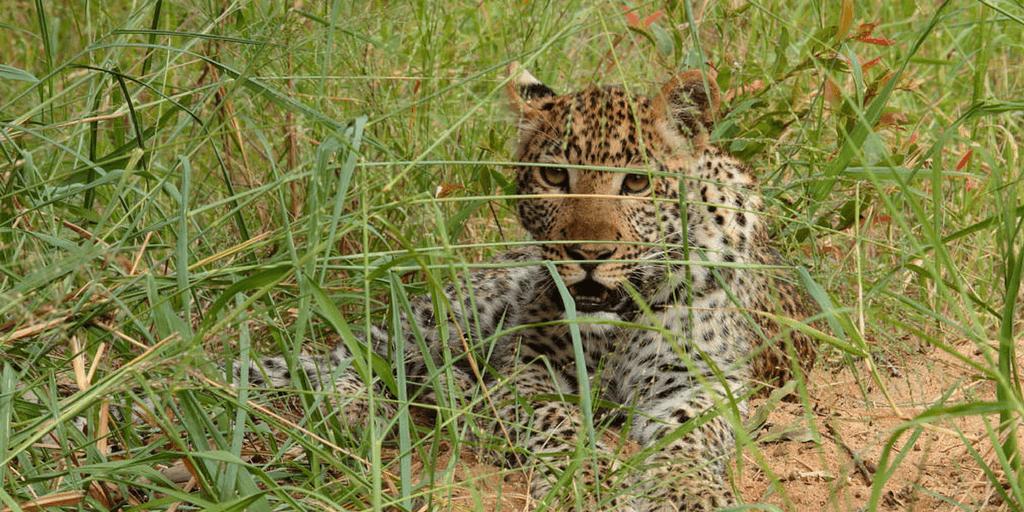 Big Cat Research In South Africa