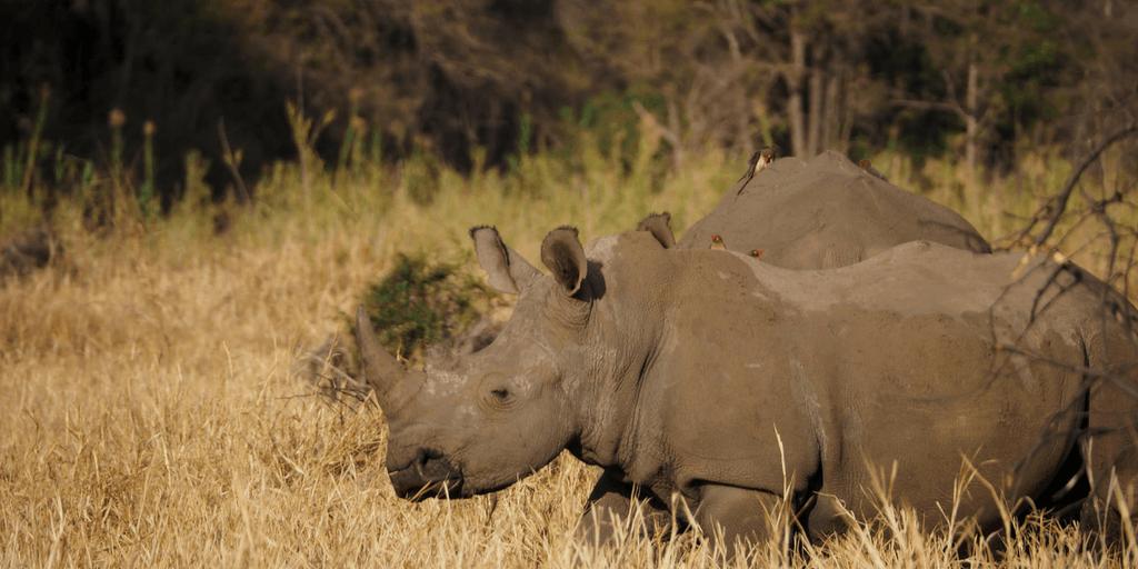 Anti-rhino Poaching Awareness In South Africa