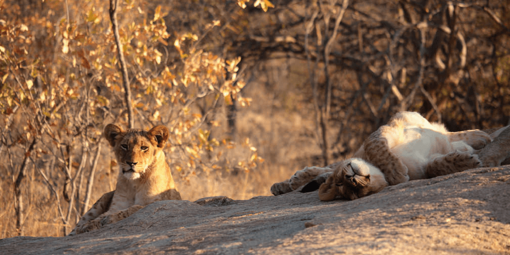 Big Cats Summer Research Program In South Africa