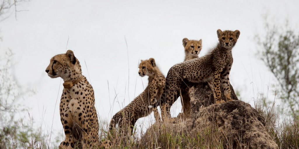 This mother cheetah had her three young cubs were captured on camera by Leah.