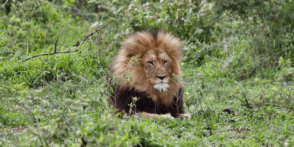 This beautiful male lion also posed for Leah's camera.