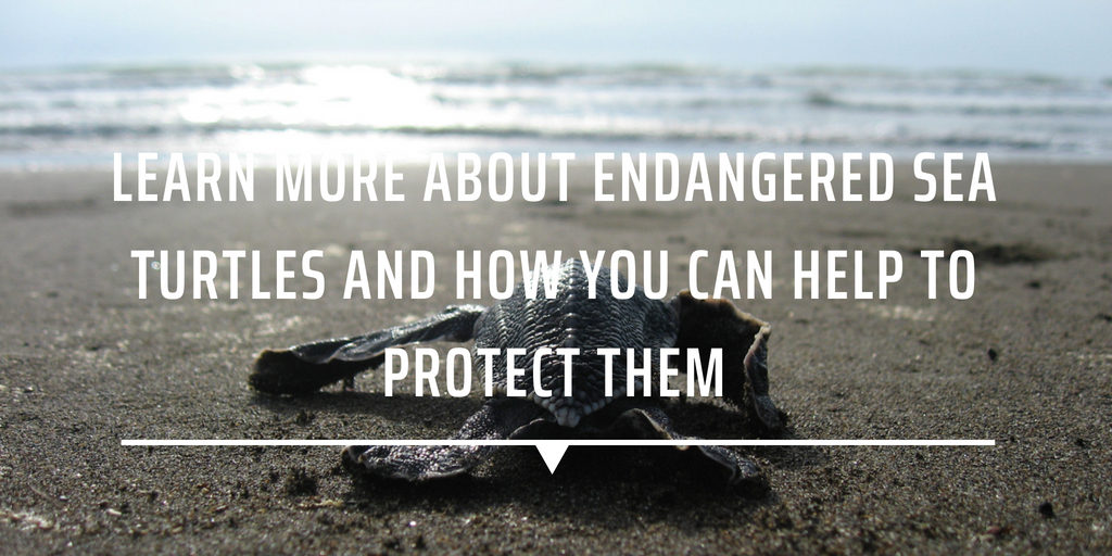 Learn more about endangered sea turtles and how you can help to protect them