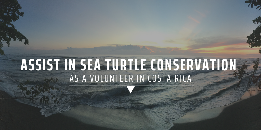 Assist in sea turtle conservation as a volunteer in Costa Rica