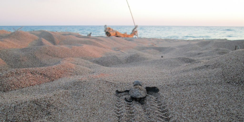 A loggerhead hatchling, makes its way back to the ocean.