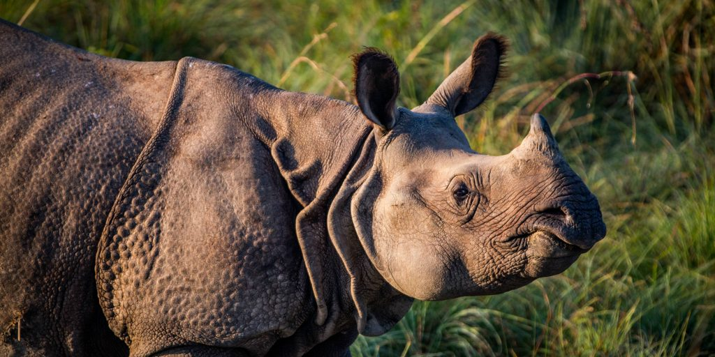A greater one-horned rhinoceros.