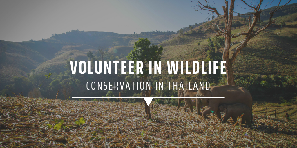 Volunteer in wildlife conservation in Thailand