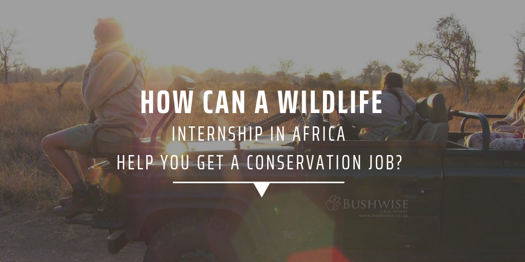 How can a wildlife internship in Africa help you get a conservation job?