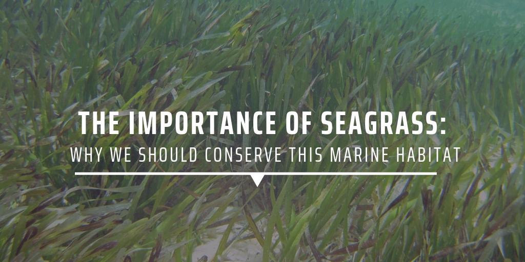 The importance of seagrass: Why we should conserve this marine habitat