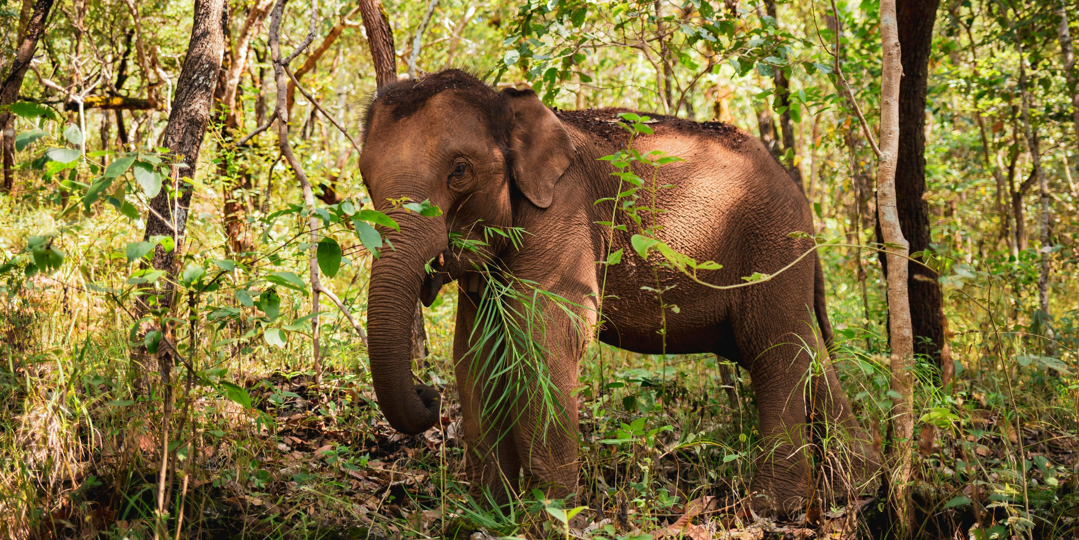 The luckiest elephants in Thailand, are free to forage and roam in their natural habitat - the forest.