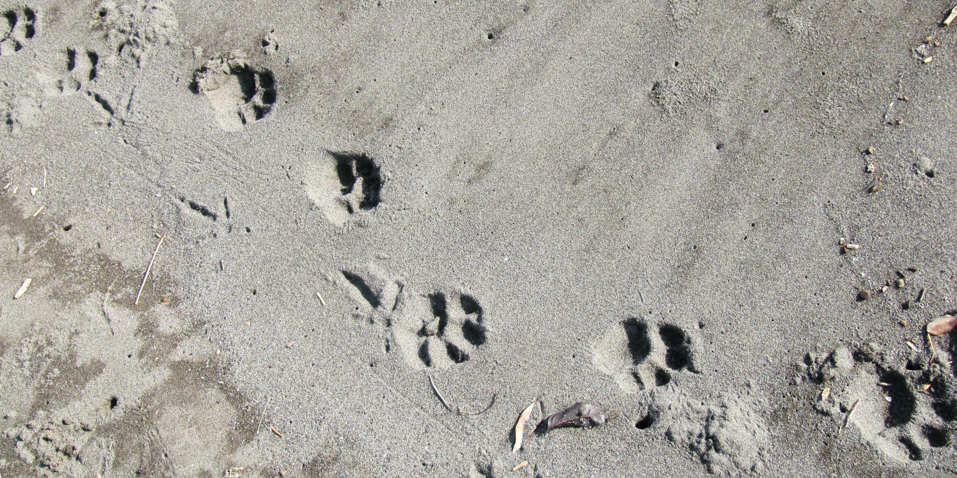 While volunteering in Costa Rica, volunteers find jaguar tracks on the beach.