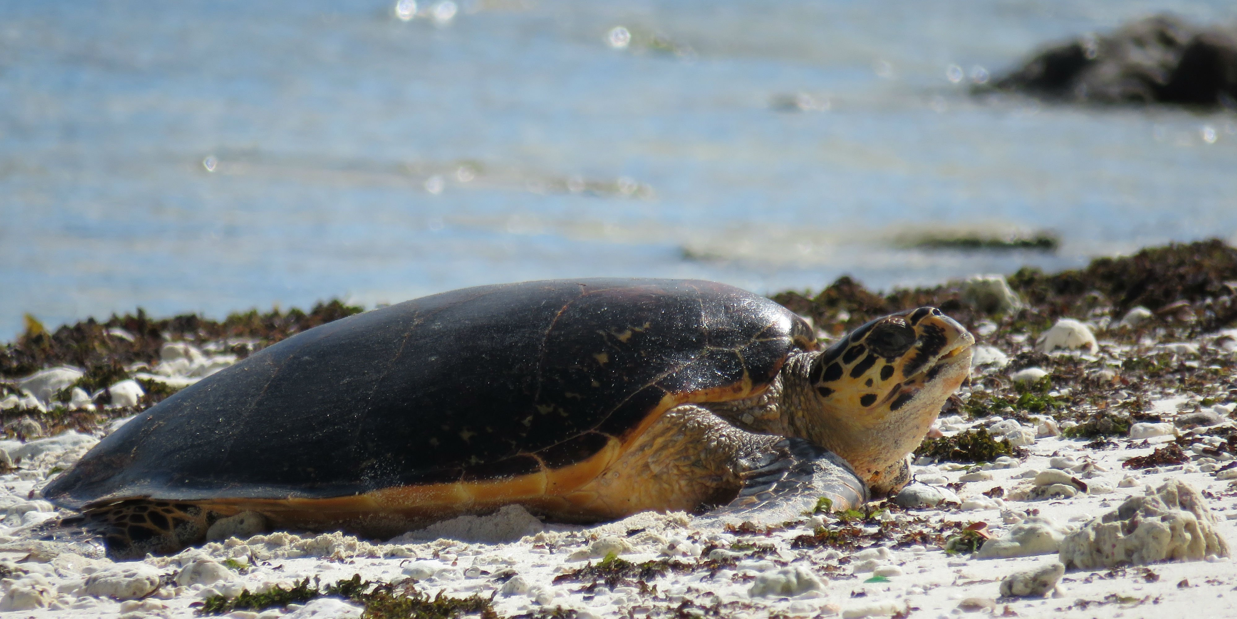 An endangered sea turtle prepares to nest on a beach.