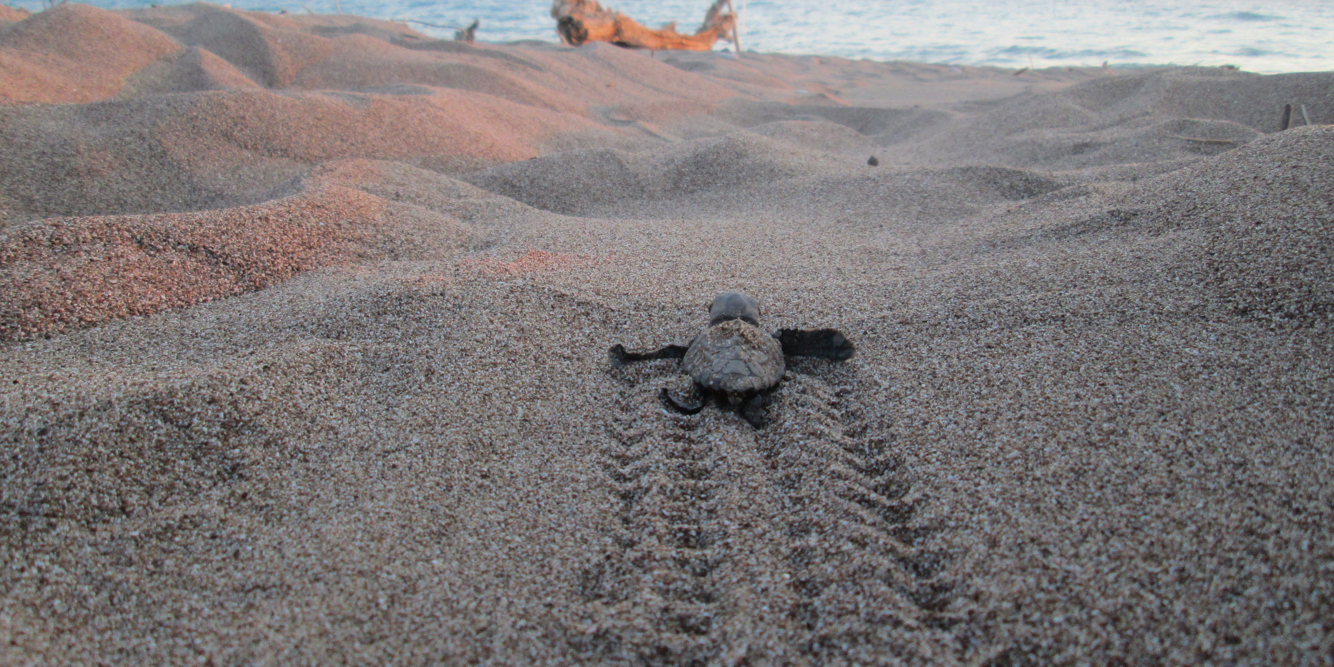Turtle hatchlings make their way to the ocean.