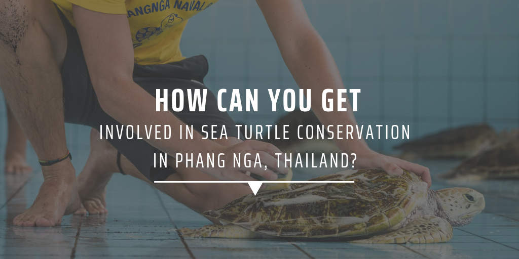 How can you get involved in sea turtle conservation in Phang Nga, Thailand?