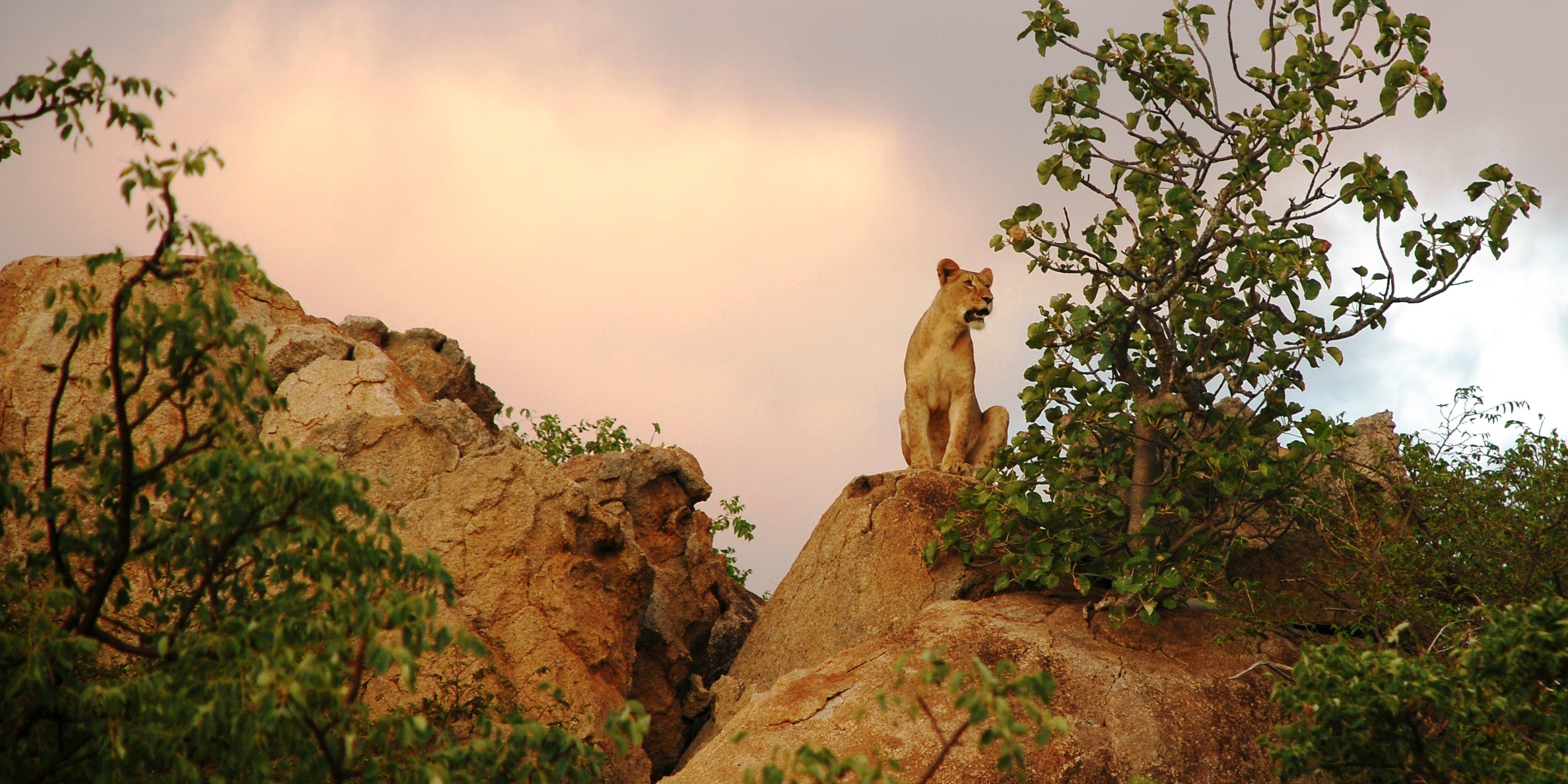 A lion surveys the bushveld from atop a rocky ridge. This lion is one of the big cats monitored as part of GVI's African wildlife conservation program.