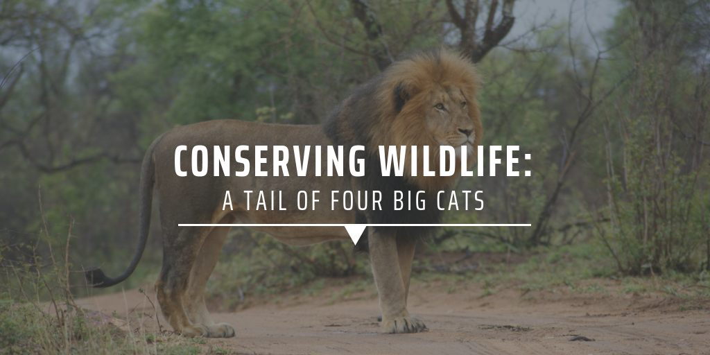 Conserving wildlife: A tail of four big cats