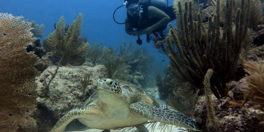 A diver swimming just behind an adult sea turtle with sea vegetation on either side