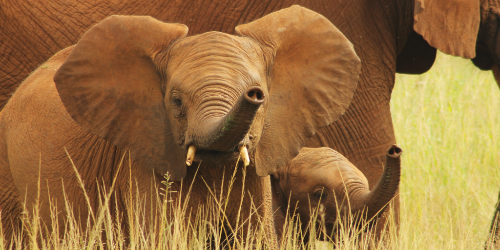 Elephant conservation is suporrted by The Wildlife Conservation Society.