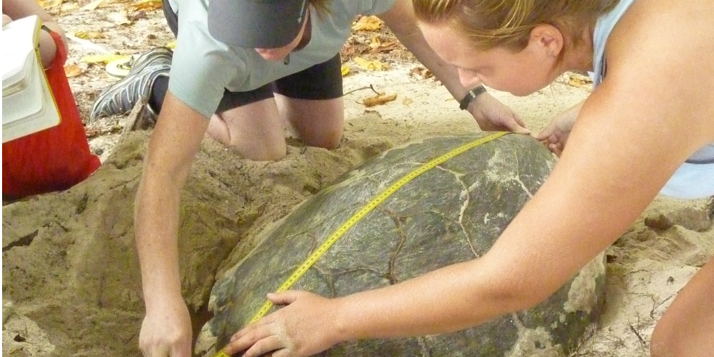 Volunteers measuring an adult sea turtle for conservational purposes