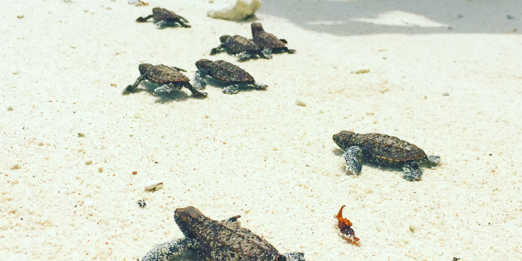 Sea turtle hatchlings, crawling across the sand on a beach in Seychelles.