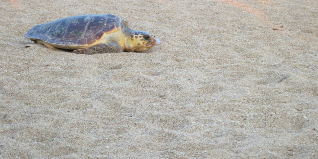 A sea turtle moving across the sand.