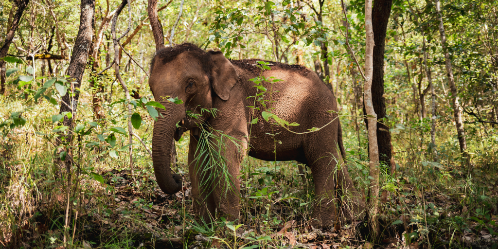 Volunteer in Thailand with elephants and witness their incredible nature
