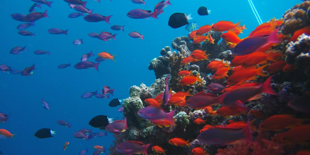 A school of red fish swimming around a rock.