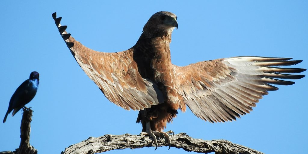 Volunteer in Africa with animals like the tawny eagle.