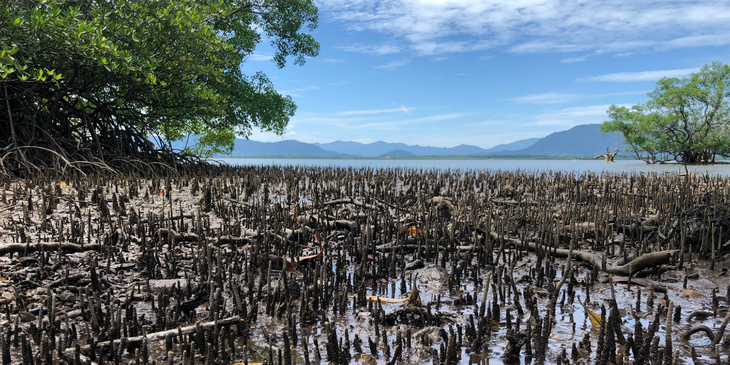 Mangrove trees in Curieuse island