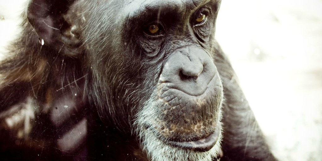 The Jane Goodall Institute is focused on chimpanzee conservation.