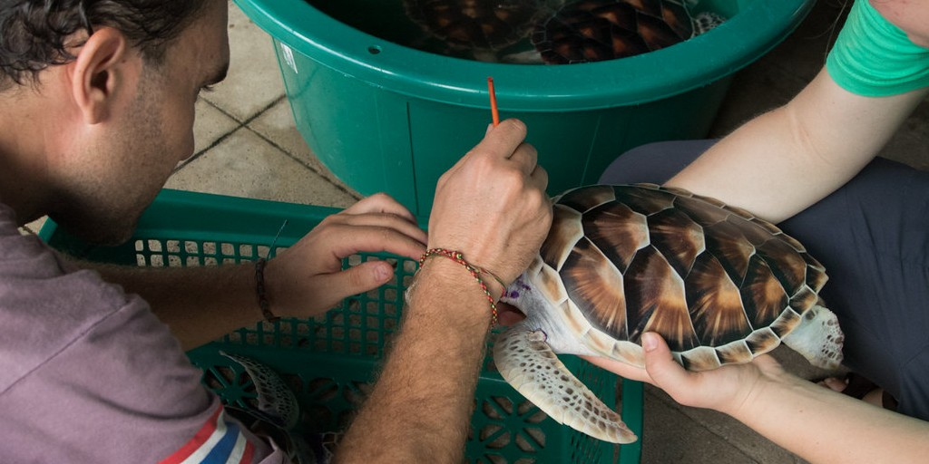 a marine conservation volunteer cleans a sea turtle's shell to prevent from infection