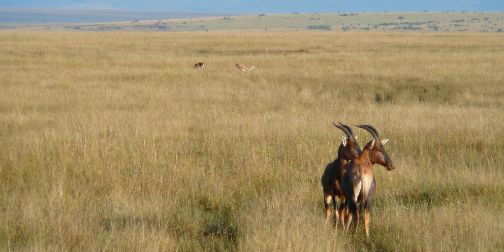 buck in Kenya contributing to their varied ecosystem