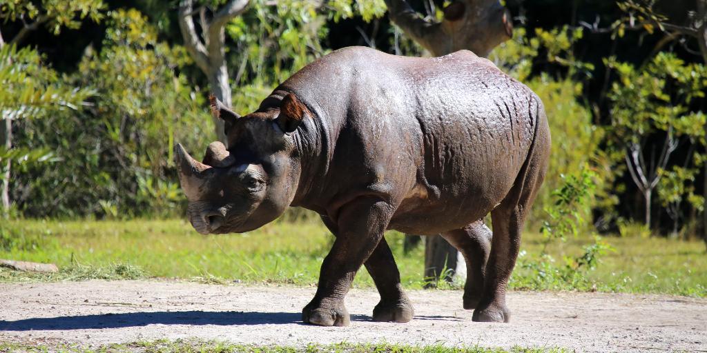 A black rhino walking around.