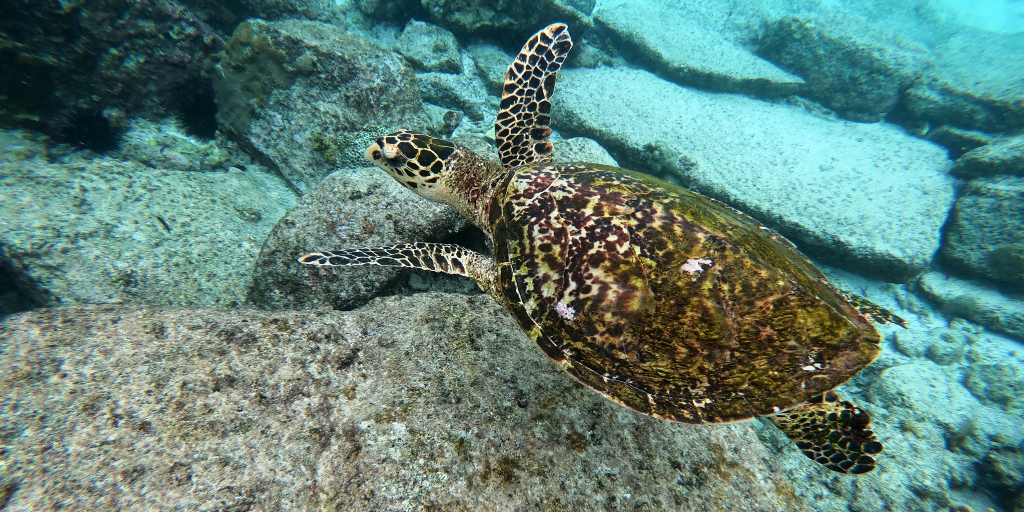 A turtle swims in its natural environment.