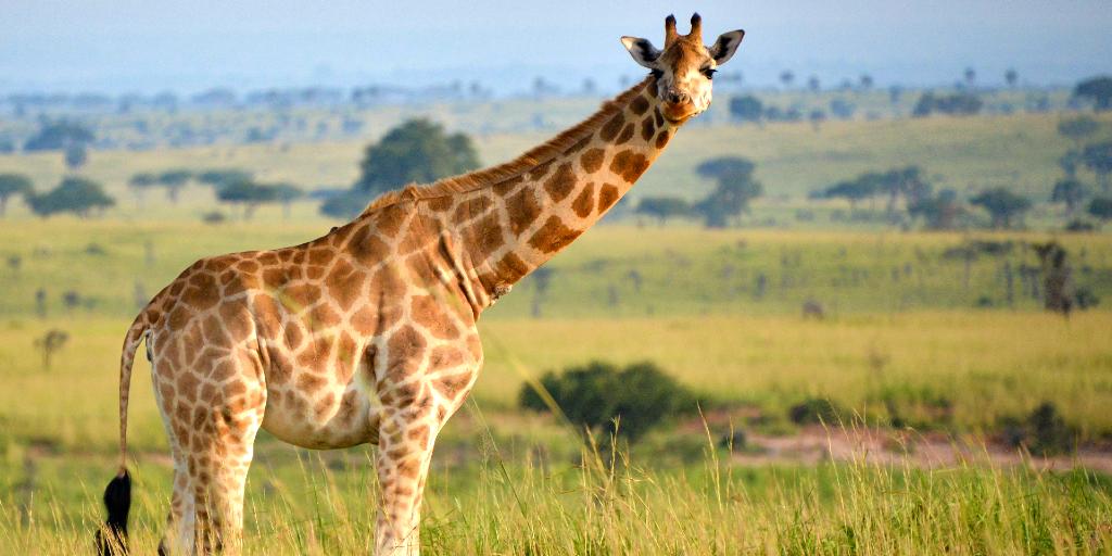 a rothschild giraffe roaming in the grass.